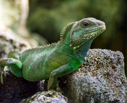 Chinese Water Dragon, Physignathus cocincinus, animal green