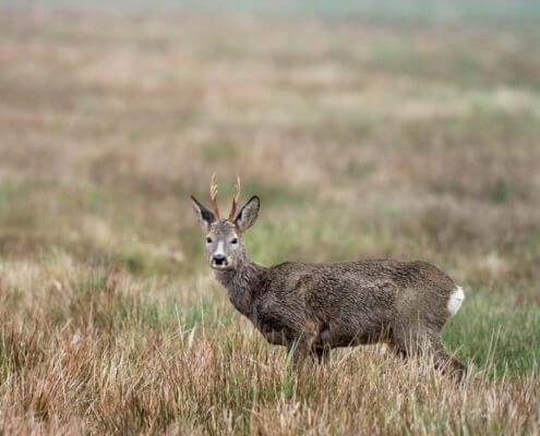 Red deer Cervus elaphus Jeleń szlachetny Animals nature photography
