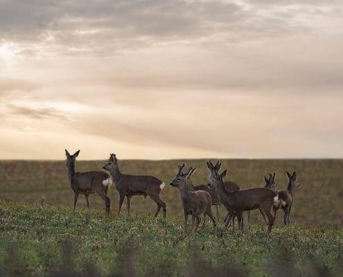 Roe Deer, Capreolus animal