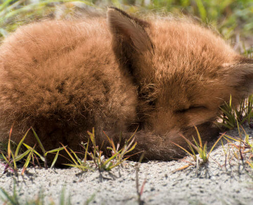 small slleepy red fox