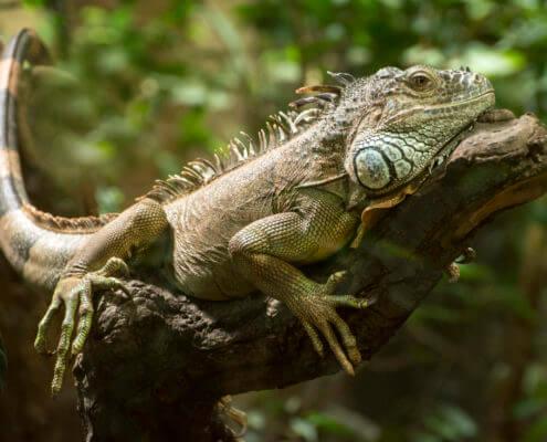 Iguana animal green