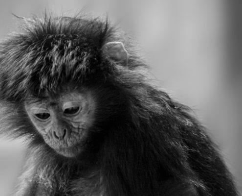 sadness monkey animals