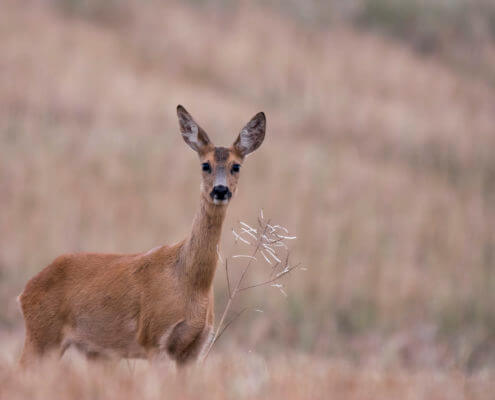 Roe Deer, Capreolus animal