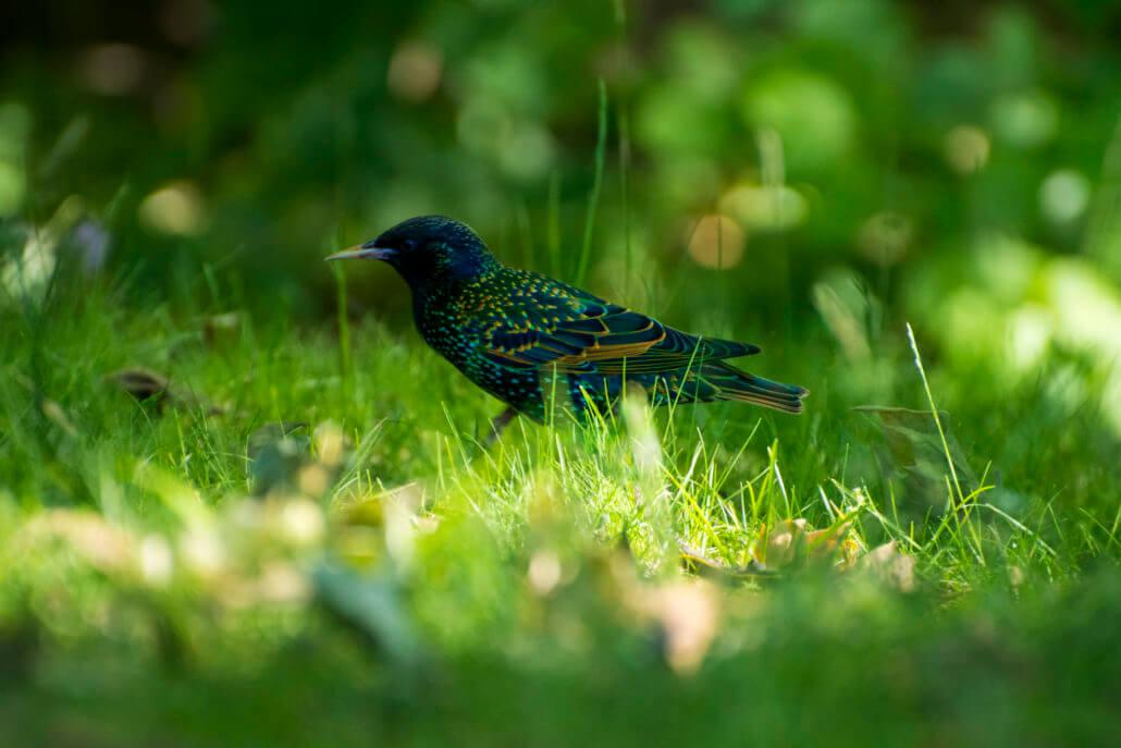Szpak zwyczajny, Malowany Ptak