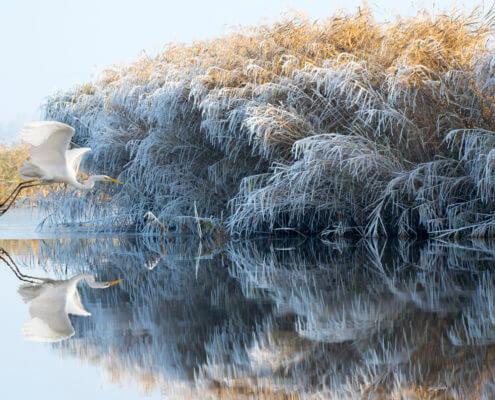 Czapla Biała