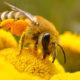 Pszczoła w pracy