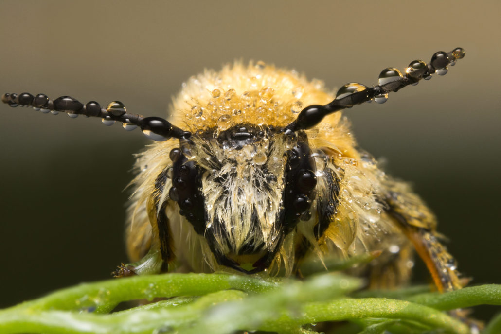 Pszczoła, skąpana w rosie