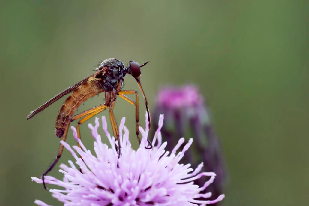 Komar nie tylko krwią się żywi