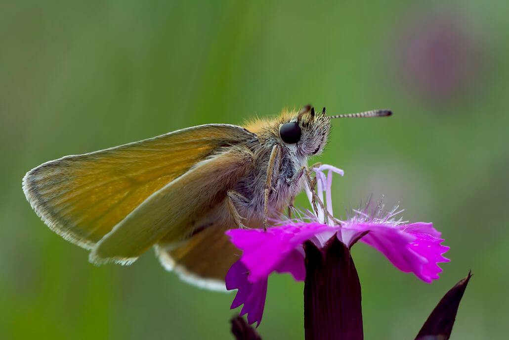 Thymelicus Motyl