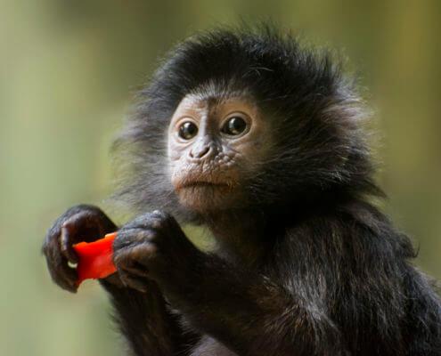 sadness monkey animals, Trachypithecus Auratus