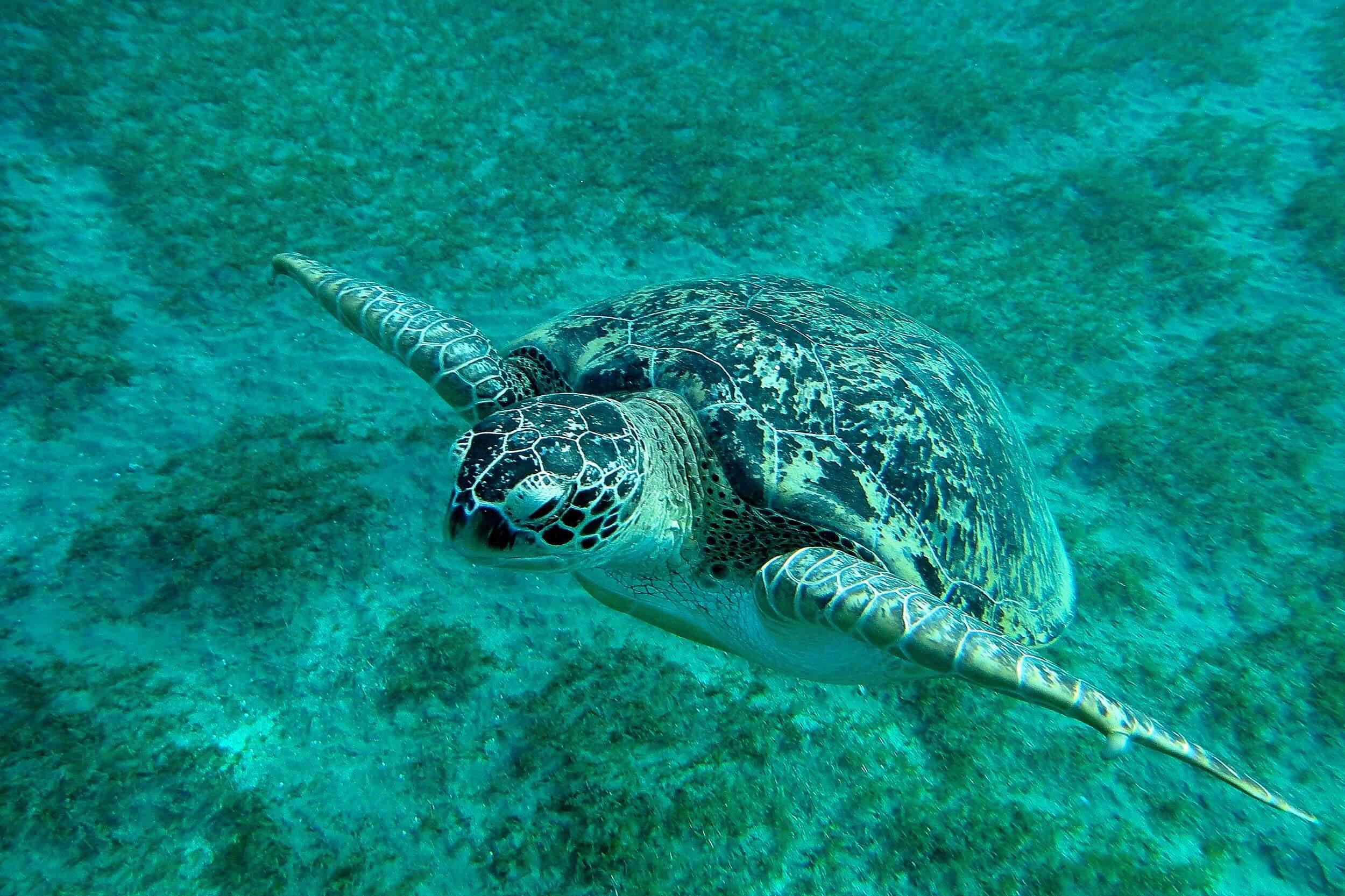 Turtle, underwater