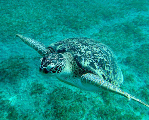 żółw, turtle