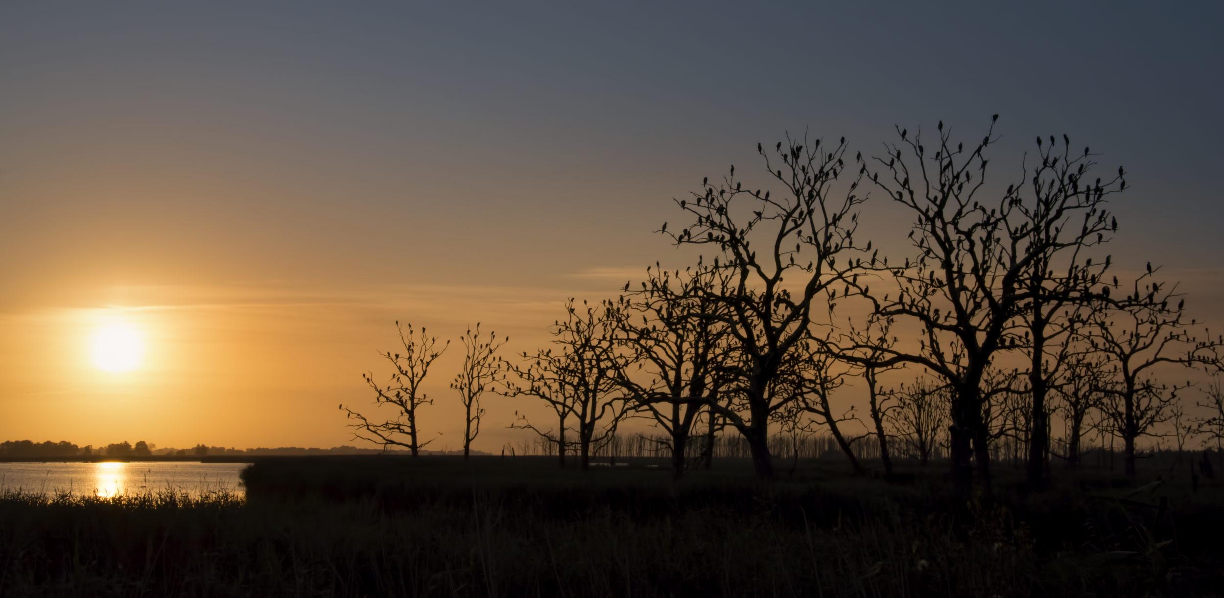 cormorants, cormoran, trees, dead forest, dark, sunset, sunrise