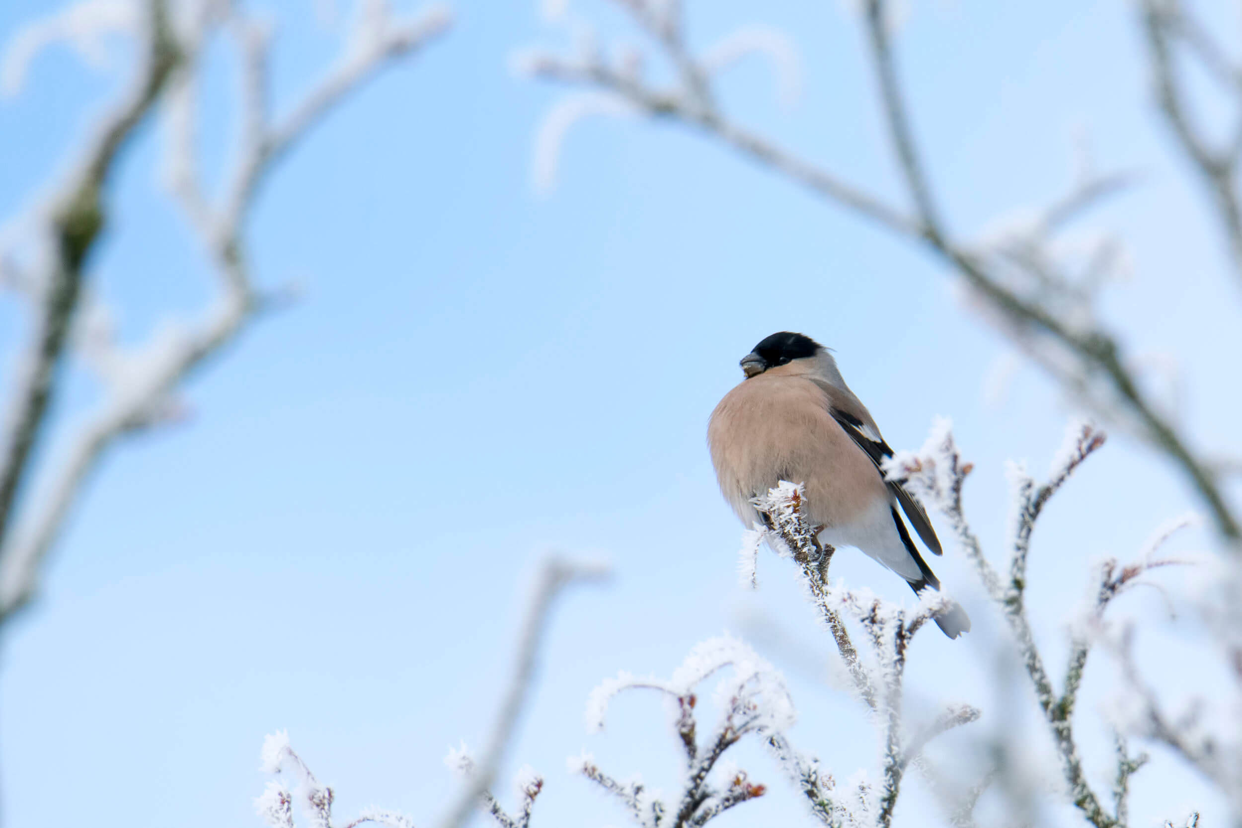 bird Bullfinch, Pyrrhula Pyrrhula, Gil - Artur Rydzewski photo gallery and blog