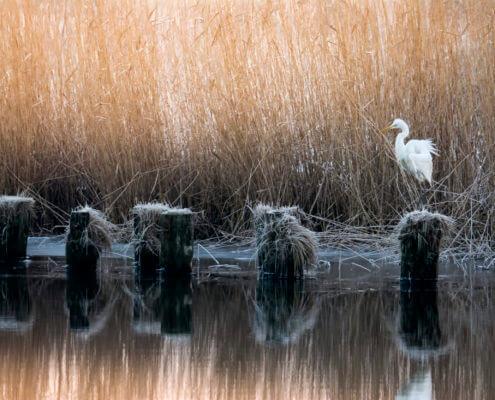 Great Egret, Ardea Alba, Czapla Biała