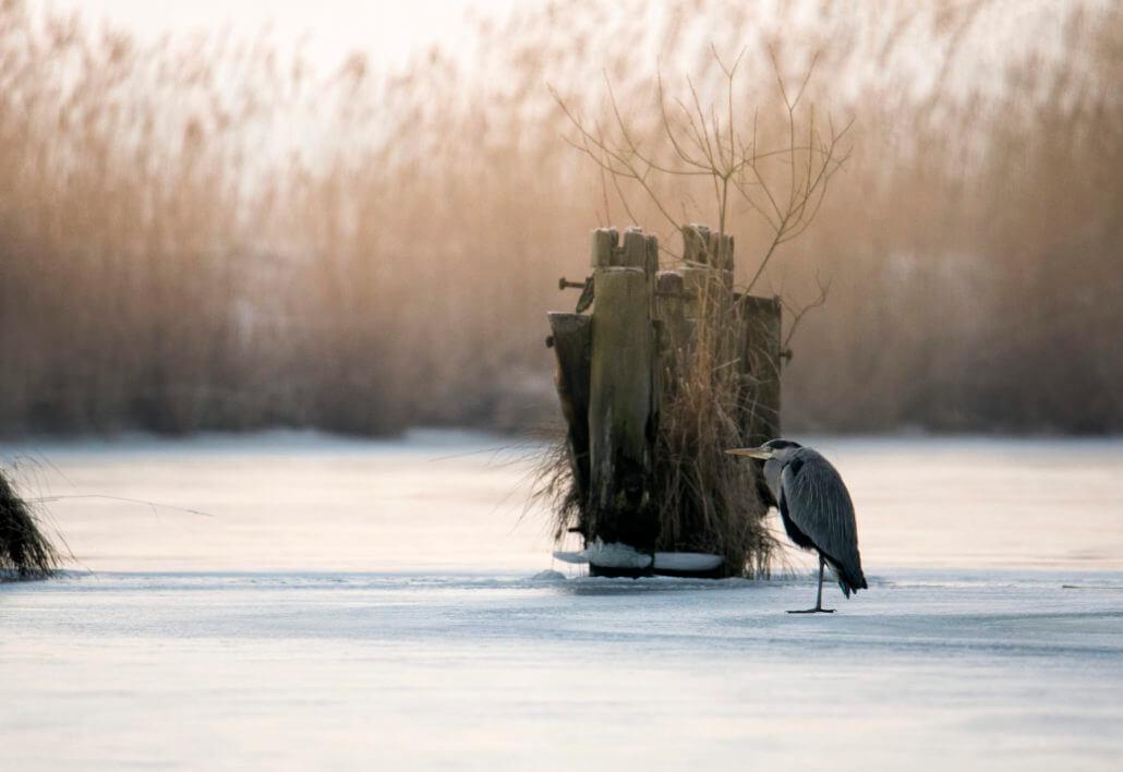 Grey Heron Ardea Cinerea Czapla Siwa