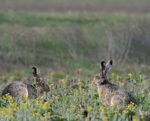 hares rabbits animals