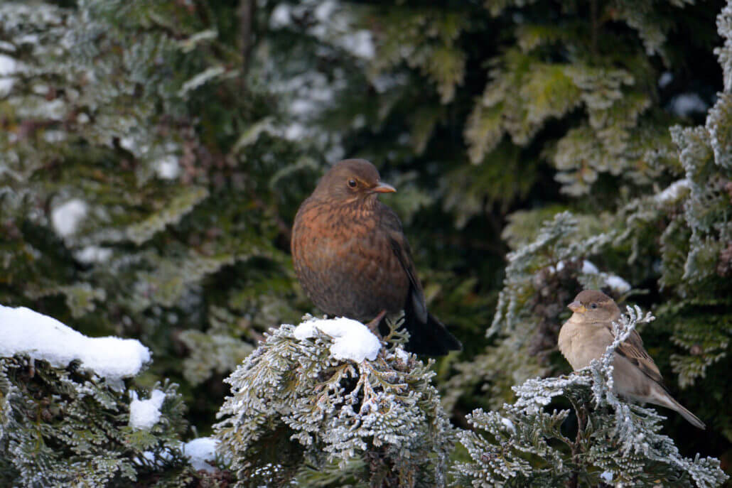 common Blackbird and Sparrow