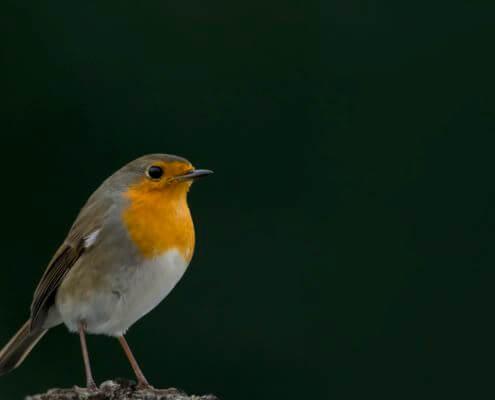 Robin, Erithacus rubecula, Rudzik, Raszka, orange bird, bird, smll bird, pomarańczowy ptak, ptak