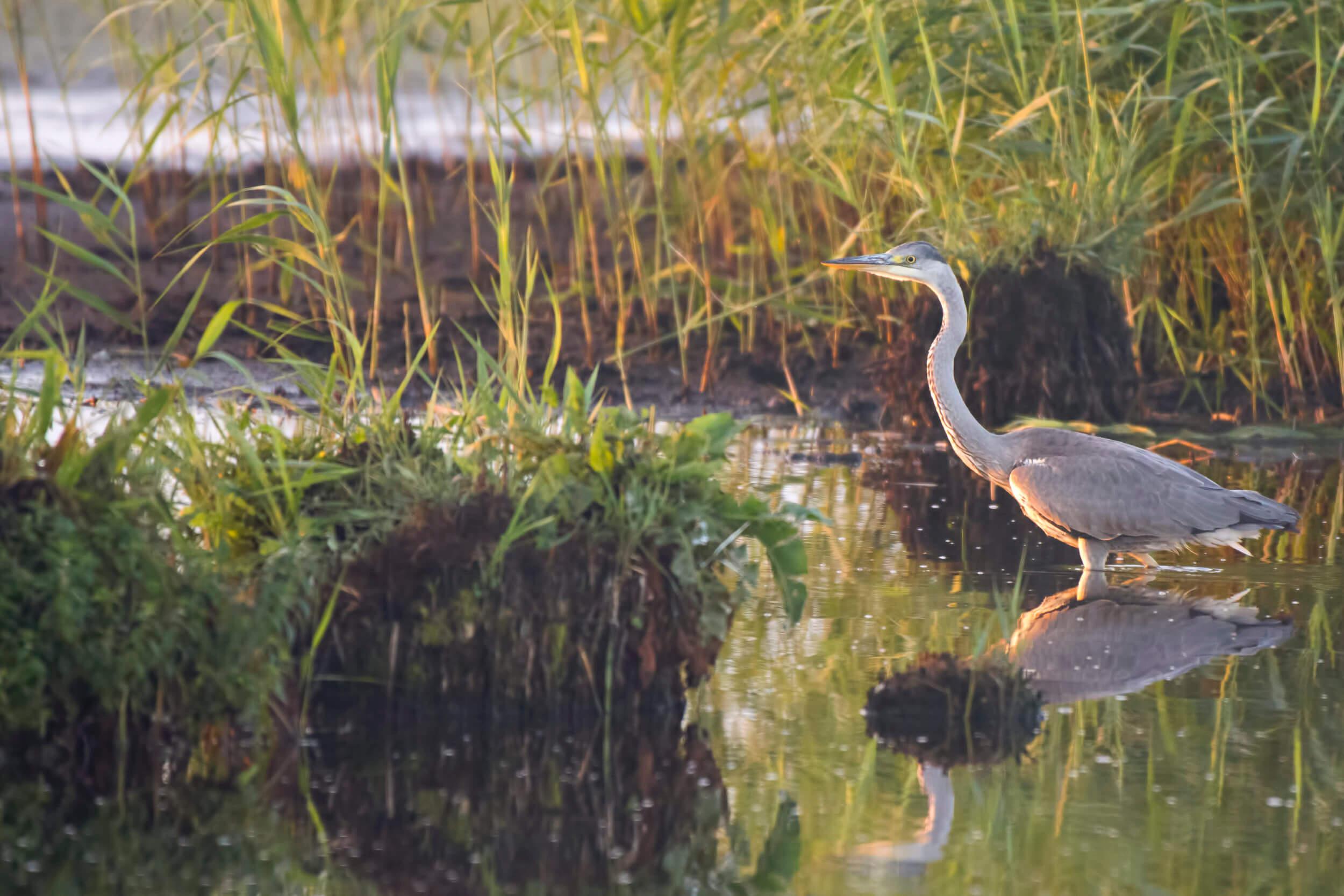 Grey Heron Ardea Cinerea, Czapla Siwa