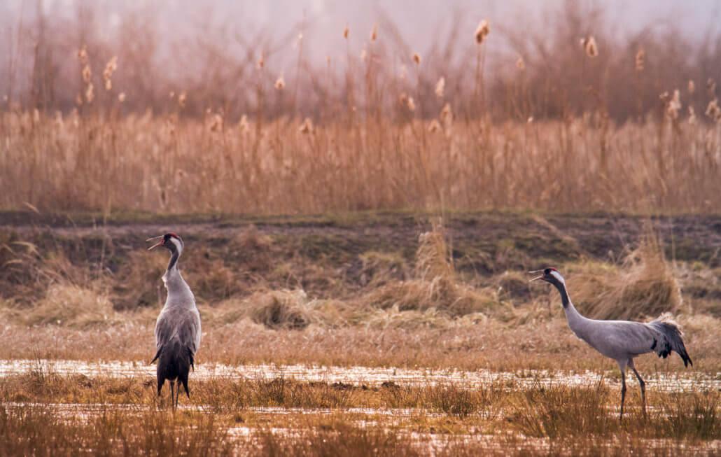 Singing Cranes