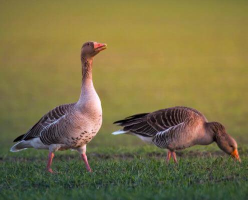 Anser anser, Greylag goose, Gęś gęgawa, sunset, sun set, Puszcza Wkrzańska, Rezerwat Świdwie, nature photography, bird, ptak, gęgawa
