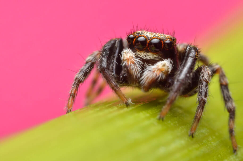 Jumping spider on flower, evarcha arcuata