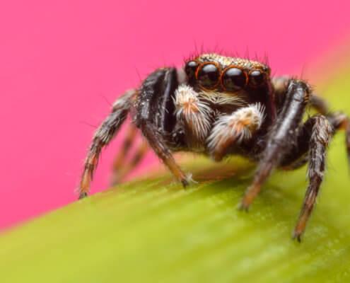Jumping spider on flower, evarcha arcuata