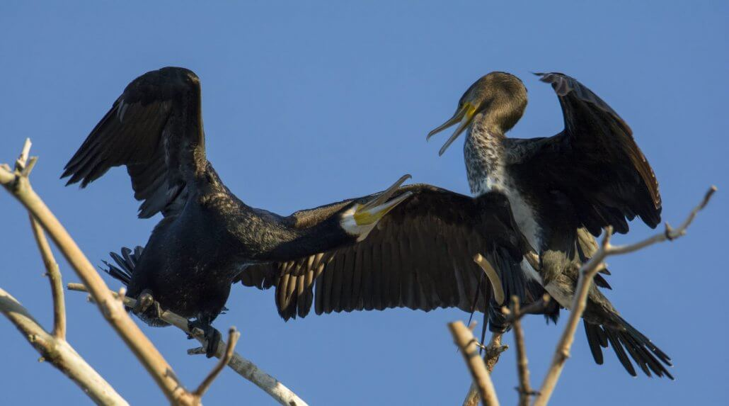 Fighting cormorants