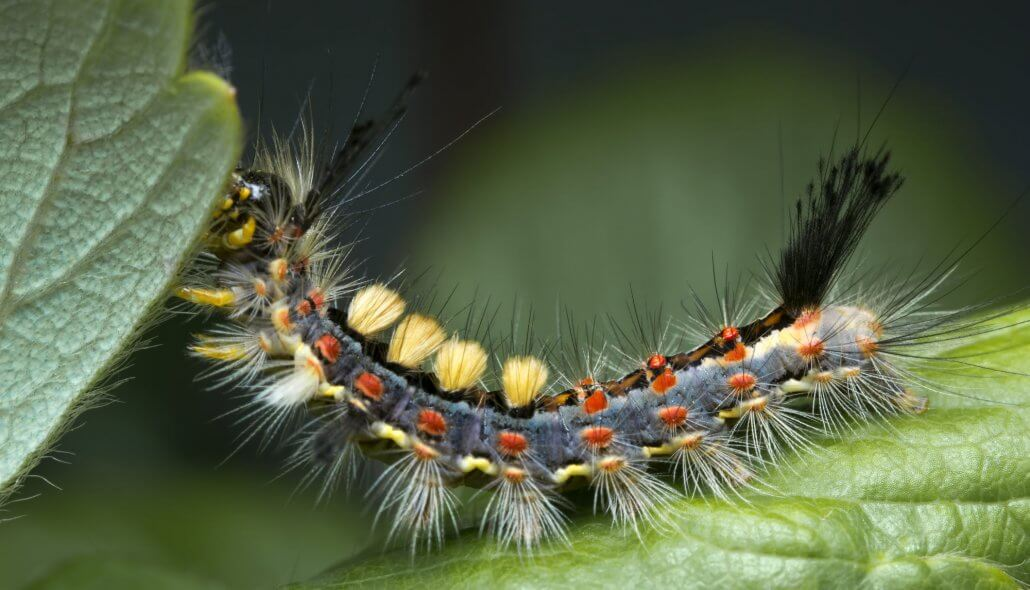 The rusty tussock moth, Vapourer