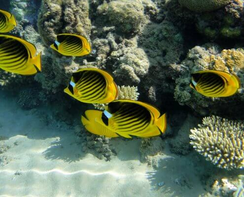 Diagonal butterflyfish, Red Sea raccoon butterflyfish
