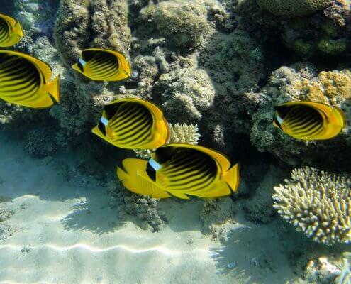 Diagonal butterflyfish, Red Sea raccoon butterflyfish