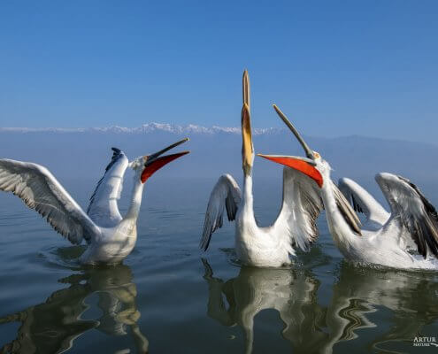 Dalmatian pelican, Pelecanus crispus, Pelikan kędzierzawy close up bird eye feathers closup orange red beak bill nose sun light nature wild life water river birds Kerkini lake