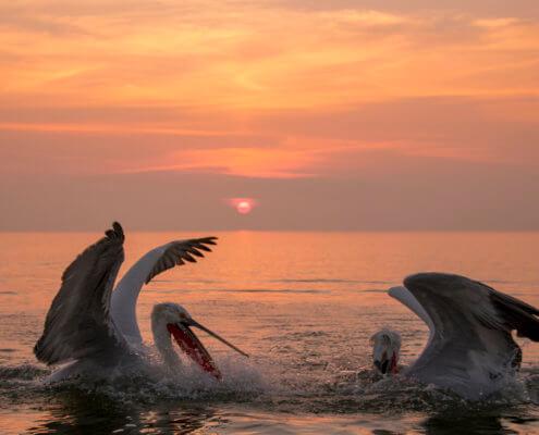 Dalmatian pelican, Pelecanus crispus, Pelikan kędzierzawy close up bird eye feathers closup orange red beak bill nose sun light nature wild life water river sunrise sunset wingspan fighting pelicans, fighting birds