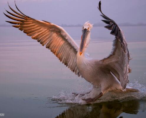 Dalmatian pelican, Pelecanus crispus, Pelikan kędzierzawy close up bird eye feathers closup orange red beak bill nose sun light nature wild life water river sunrise sunset wingspan