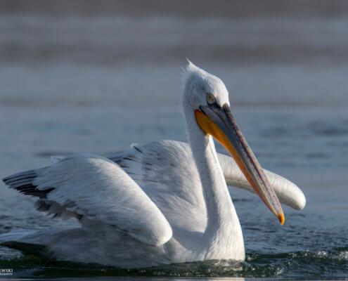 Dalmatian pelican, Pelecanus crispus, Pelikan kędzierzawy close up bird eye feathers closup orange red beak bill nose sun light nature wild life water river wingspan