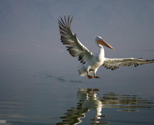 Dalmatian pelican, Pelecanus crispus, Pelikan kędzierzawy Kerkini lake water reflection orange beak close up wingspan hill landing bird flying bird
