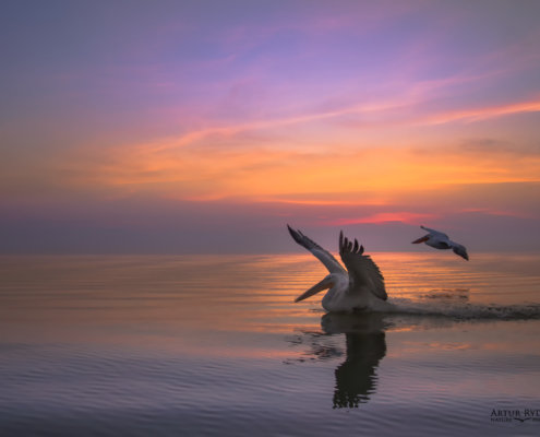Dalmatian pelican, Pelecanus crispus, Pelikan kędzierzawy close up bird eye feathers closup orange red beak bill nose sun light nature wild life water river sunrise sunset wingspan fighting birds lake