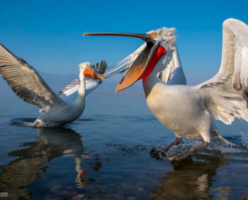 Dalmatian pelican, Pelecanus crispus, Pelikan kędzierzawy close up bird eye feathers closup orange red beak bill nose sun light nature wild life water river sunrise sunset wingspan open beak