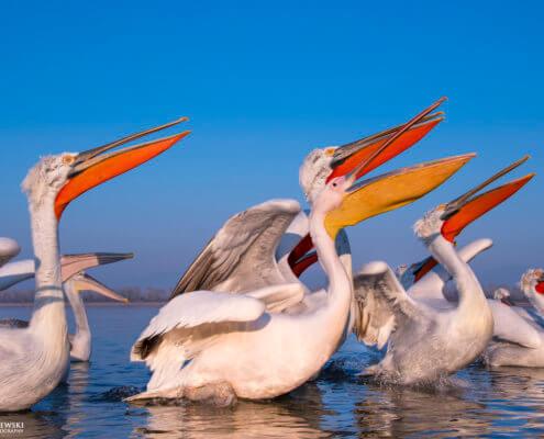 Dalmatian pelican, Pelecanus crispus, Pelikan kędzierzawy close up bird eye feathers closup orange red beak bill nose sun light nature wild life water river birds Kerkini lake white pelican