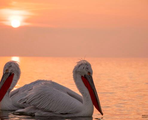 Dalmatian pelican, Pelecanus crispus, Pelikan kędzierzawy close up bird eye feathers closup orange red beak bill nose sun light nature wild life water sunset sunrise orange water sun