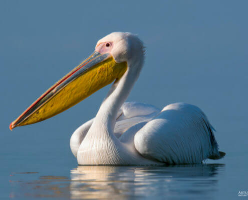 great white pelican Pelecanus onocrotalus eastern white pelican rosy pelican white pelican big white bird with big orange yellow beak close up bird eye lake river water