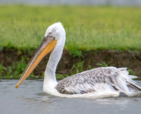 Dalmatian pelican, Pelecanus crispus, tree in water, lake kerkinie, lake, grass, white bird, river, Pelikan kędzierzaw, pelikan, ptaki wodne, woda, jezioro, rzeka