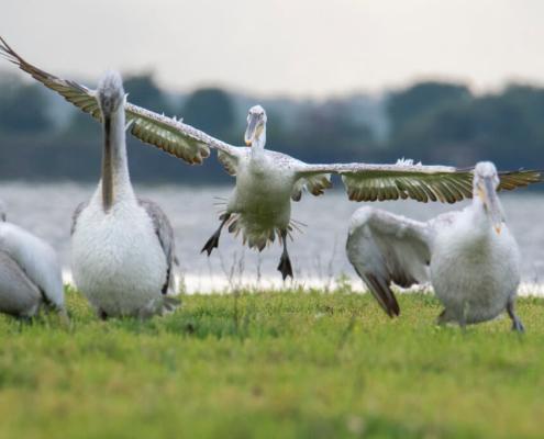 Dalmatian pelican, Pelecanus crispus, tree in water, lake kerkinie, lake, grass, white bird, Pelikan kędzierzaw, pelikan, ptaki wodne, woda, jezioro