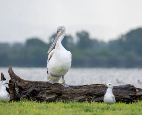 Dalmatian pelican, Pelecanus crispus, tree in water, lake kerkinie, lake, grass, white bird, Pelikan kędzierzaw, pelikan, ptaki wodne, woda, jezioro, drzewo w wodzie