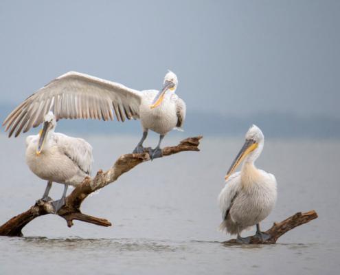 Dalmatian pelican, Pelecanus crispus, tree in water, lake kerkinie, lake, Pelikan kędzierzaw, pelikan, ptaki wodne, woda, jezioro, drzewo w wodzie