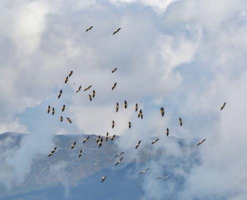 Dalmatian pelican, Pelecanus crispus, Pelikan kędzierzaw, sky, clouds, pelicans in flight