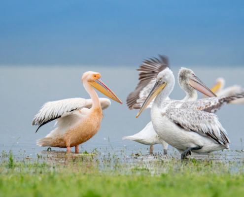 Dalmatian pelican, Pelecanus crispus, Pelikan kędzierzaw, Great white pelican, Pelecanus onocrotalus, lake kerkini, Pelikan różowy, woda, jezioro, biały ptak