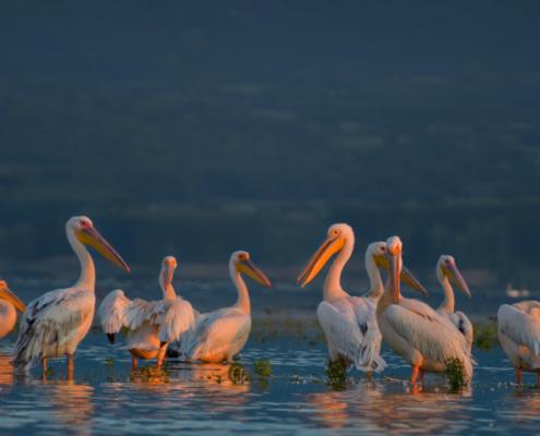 white pelicans birds, pelican, Great white pelican, Pelecanus onocrotalus, wildlife nature photography, morning light, sunrise