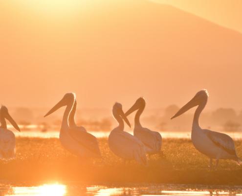 White pelicans in the morning light in lake Kerkini, big white birds